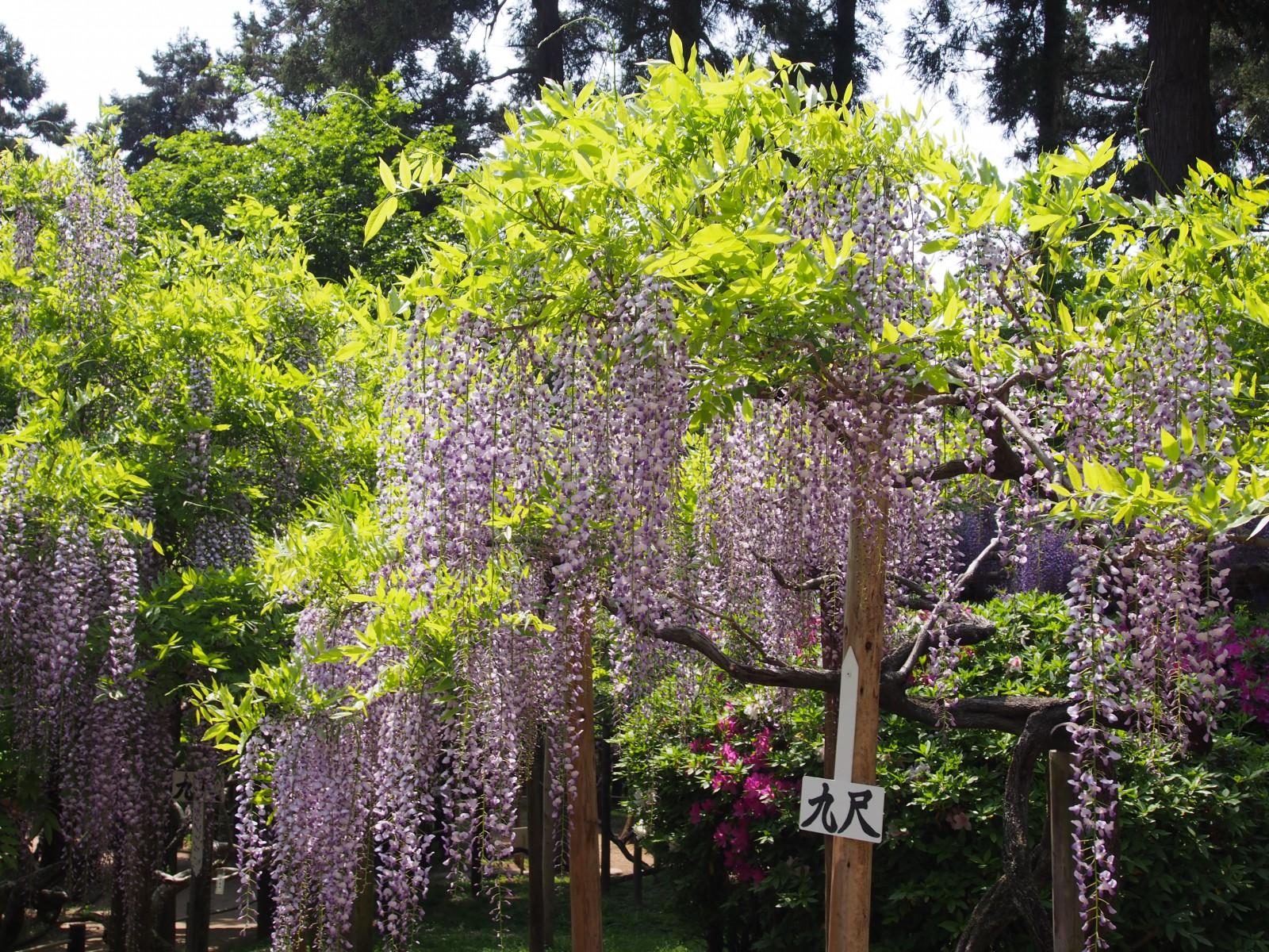 萬葉植物園の九尺藤