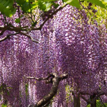 【春日大社萬葉植物園】「藤」のシーズンには大変なにぎわいを見せる風雅な空間
