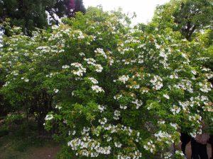 【御影堂供華園(唐招提寺)】鑑真和上の故郷ゆかりの白く美しい「瓊花(けいか)」が咲き誇る空間