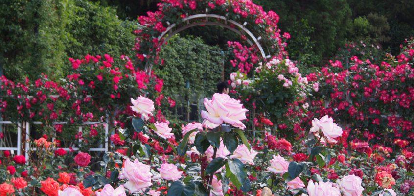 【霊山寺バラ庭園】お寺の中にある奈良最大級の「バラの名所」