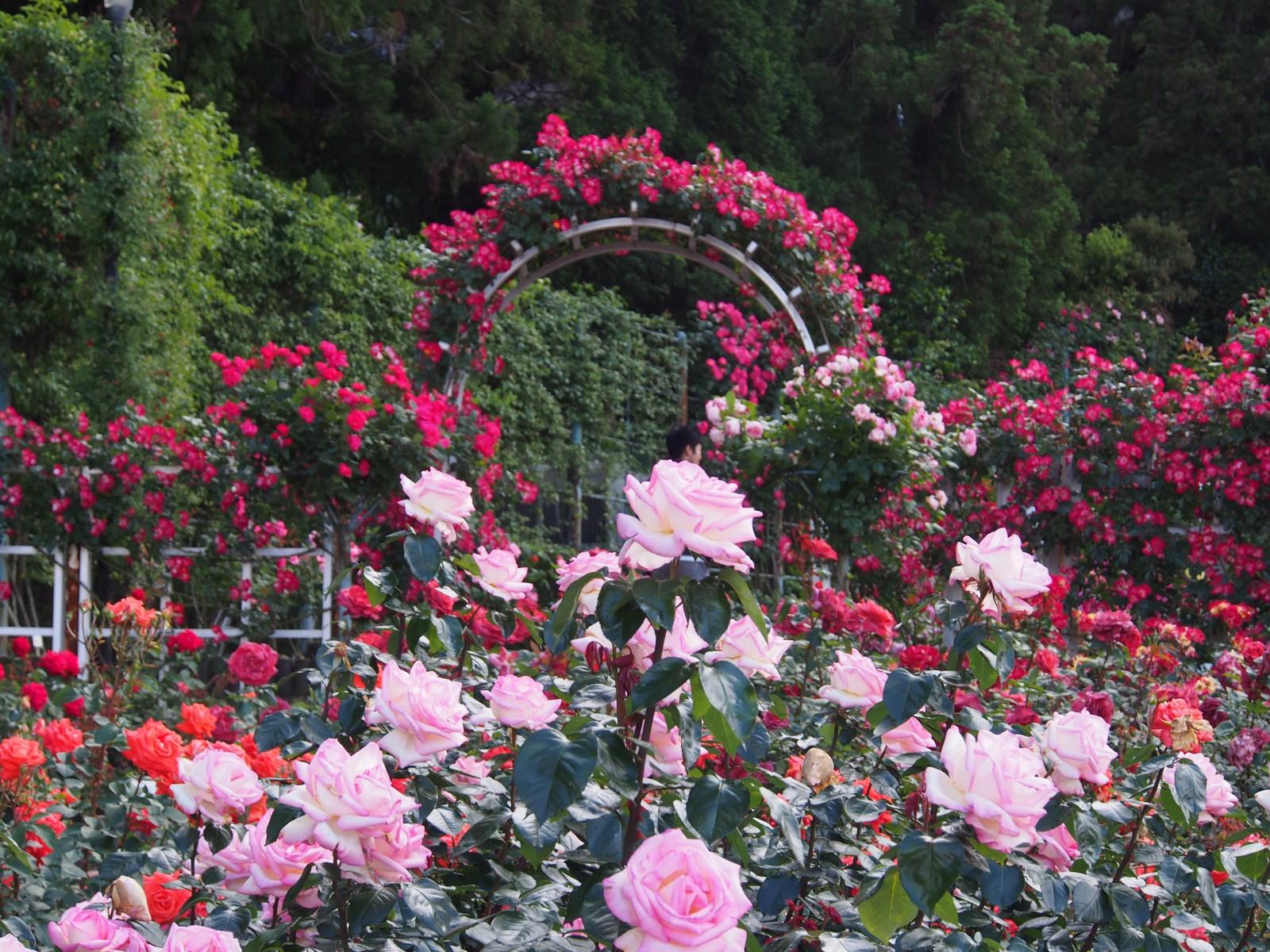 カラフルなバラが咲き誇る霊山寺のバラ庭園