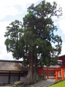 【社頭の大杉】春日大社本殿のそばにそびえ立つ高さ25メートルの杉の大木