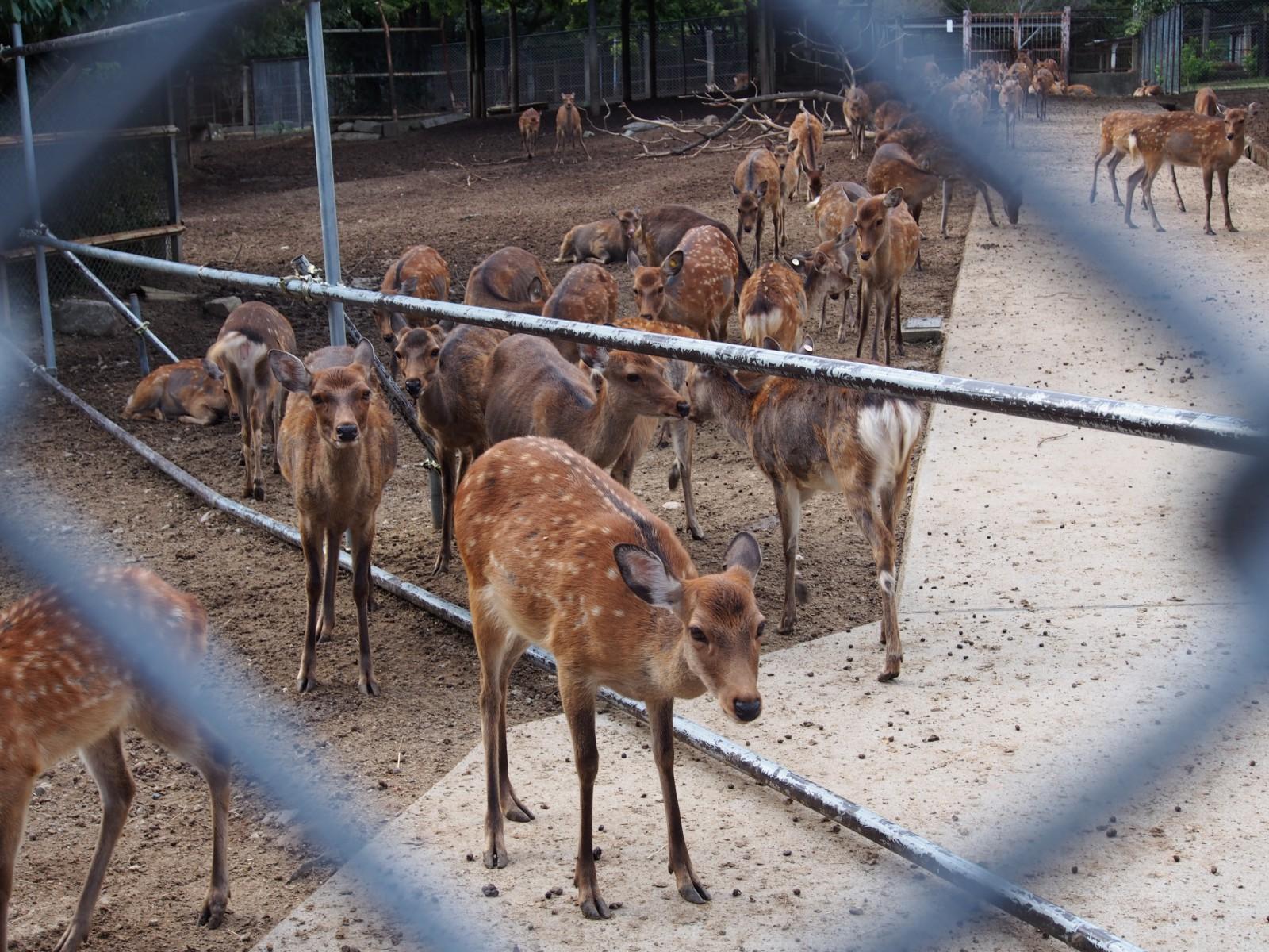 鹿苑の鹿たち