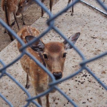 【鹿苑】通年見学可能な「奈良の鹿」を保護するための専用施設