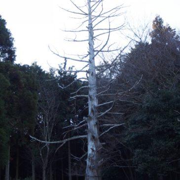 【十兵衛杉】枯死してもなお強い存在感を放つ「柳生十兵衛」が植えたと伝わる杉の木