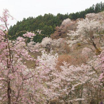 【桜】奈良・吉野山への交通手段を徹底解説!近鉄電車・バスの運賃・使い方・混雑状況など