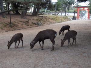 奈良の鹿の「食生活」は?鹿せんべいは「おやつ」?詳しく解説