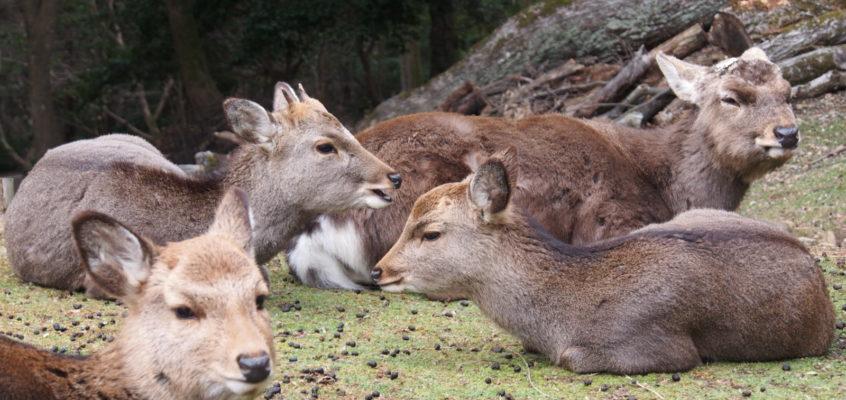 「奈良の鹿」の「身体的特徴」とは?体格・角・毛色などについて解説