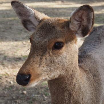 奈良の鹿の歴史(江戸時代):鹿の角きりの開始・共存の時代へ