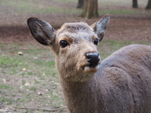 奈良の鹿の「おじぎ」とは?お礼ではない?その意味を詳しく解説!