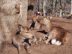 奈良の鹿の生態は?季節ごとに異なる特徴・行動を詳しく解説!