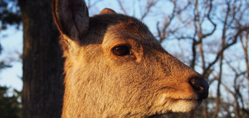奈良の鹿の歴史(平安時代):春日大社の繁栄とともに「神の使い」になった鹿