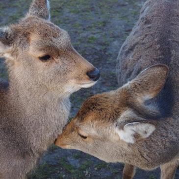 「奈良の鹿」の「寿命」は?普通の鹿よりも長生きする?詳しく解説