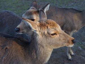奈良の鹿の歴史(近現代):絶滅の危機から観光の象徴へ