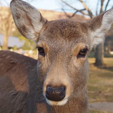 奈良「鹿せんべい」の正しいあげ方・注意点は?安全に楽しむための方法を解説!