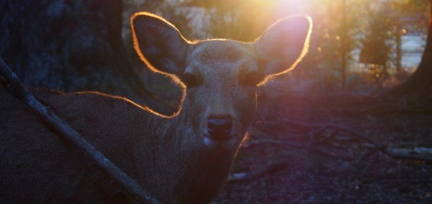 奈良の鹿の歴史(奈良時代):鹿はいつからいるの?万葉集にも詠まれた「鹿」
