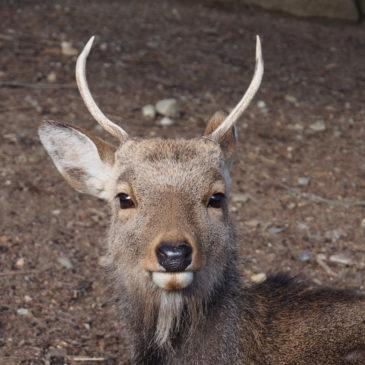 奈良の鹿の歴史(中世):鹿を死なせると「死罪」?厳格な時代へ