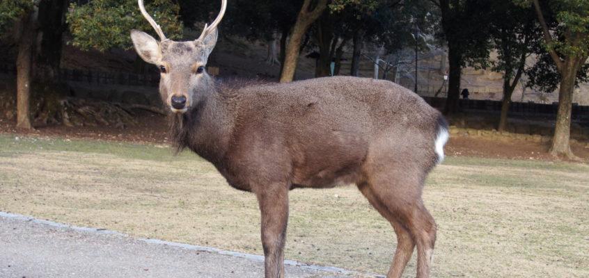 奈良の鹿の「オス」と「メス」の特徴は?「鹿社会」の仕組みも解説!