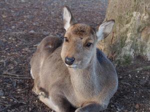 奈良の鹿が「捕獲」される?「鹿の保護」と「農業被害」対策の折り合いの難しさ