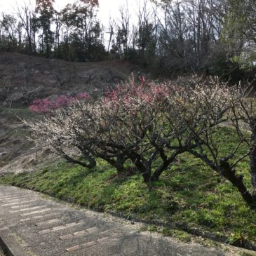 【黒谷梅林公園】郊外住宅地の裏山に広がる知られざる梅の名所