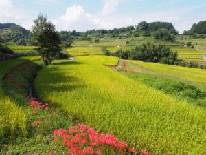 【稲渕の棚田】彼岸花など季節ごとの風景が美しい空間は「案山子」でも有名